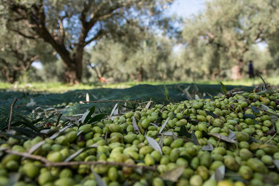 Olive oil tasting in Messinia